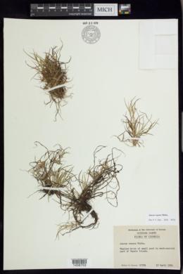 Juncus repens image