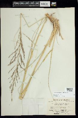 Sporobolus wrightii image