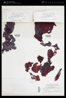 Schizymenia epiphytica image