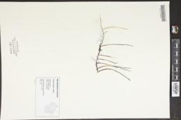 Myriophyllum tenellum image