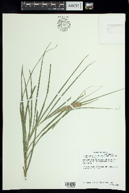 Image of Rhynchospora tuerckheimii