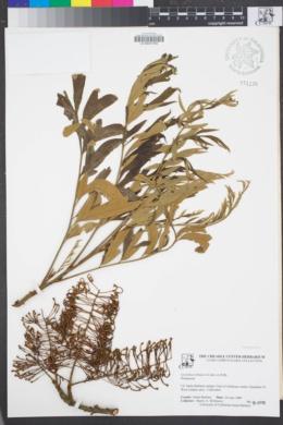 Image of Grevillea robusta