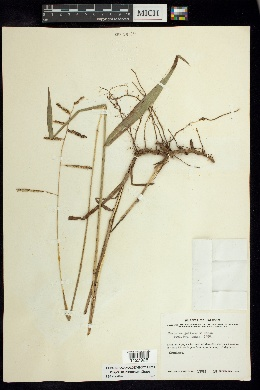 Paspalum jaliscanum image