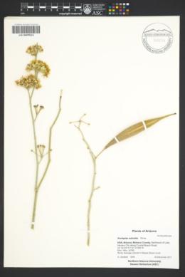 Asclepias subulata image