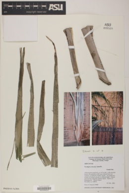 Image of Neodypsis decaryi