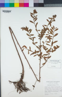 Image of Ludwigia pilosa