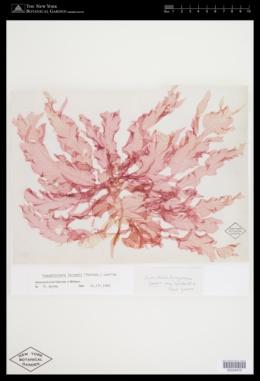 Paraglossum larsenii image