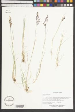 Agrostis flaccida image