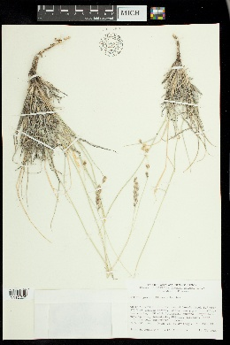 Hilaria jamesii image