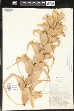 Image of Tillandsia carlos-hankii