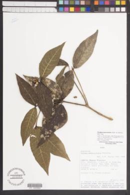 Image of Rudgea panurensis