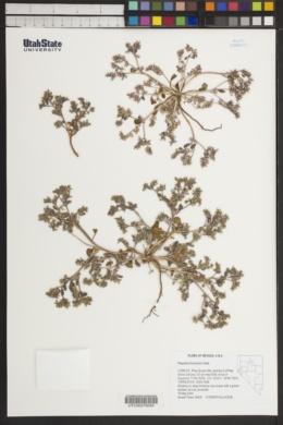Image of Phacelia monoensis