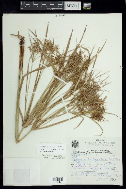 Cyperus giganteus image