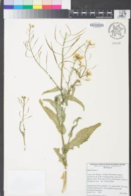 Image of Brassica rapa