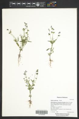 Salvia subincisa image