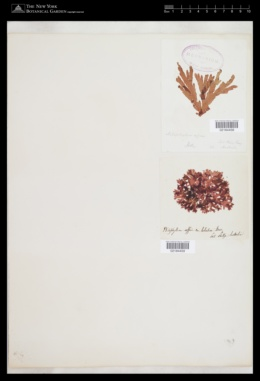 Hymenena affinis image