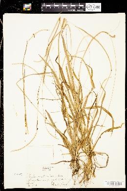 Paspalum setaceum var. stramineum image