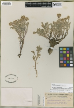 Chaenactis thompsonii image