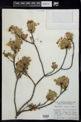 Image of Phyllanthus comosus