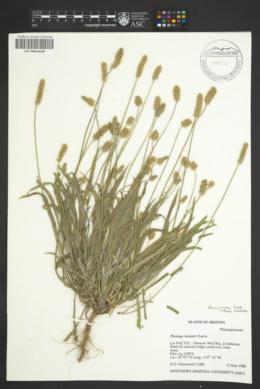 Plantago ovata image