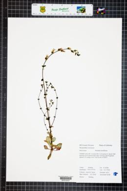 Streptanthus tortuosus image