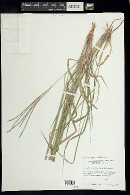 Enteropogon chlorideus image