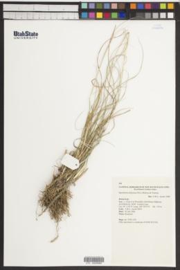 Sporobolus africanus image