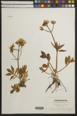 Image of Valeriana columbiana