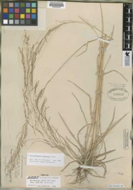 Image of Muhlenbergia schmitzii