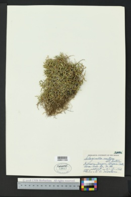 Selaginella mutica image