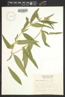 Image of Cuphea angustifolia