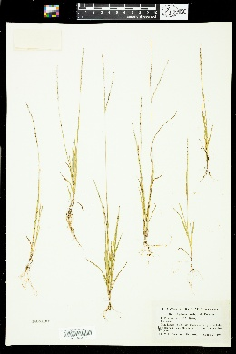Image of Digitaria laeviglumis