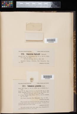Tetmemorus granulatus image