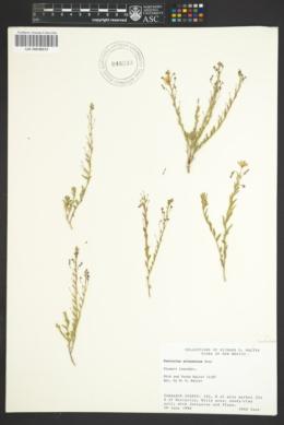 Evolvulus arizonicus image