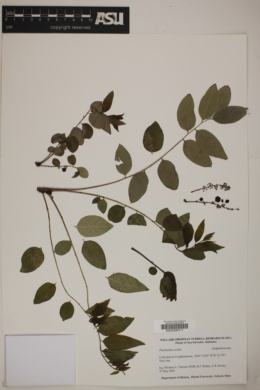 Image of Phyllanthus acidus