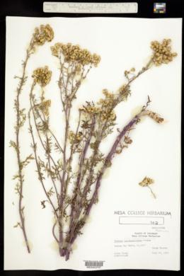 Senecio spartioides var. multicapitatus image