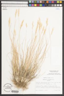 Danthonia intermedia image