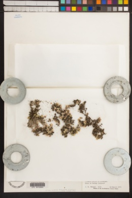 Image of Pyxidanthera brevifolia