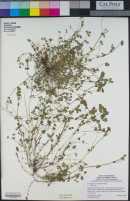 Trifolium microcephalum image