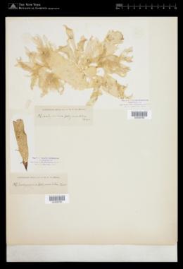 Hymenocladia chondricola image