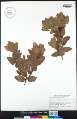 Arctostaphylos hooveri image