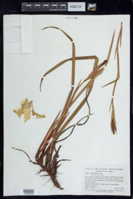 Image of Iris bracteata