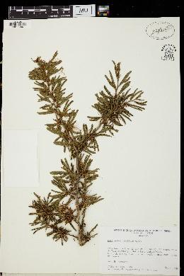 Image of Calliandra caeciliae