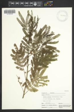 Image of Albizia caribaea