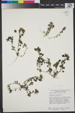 Image of Parietaria floridana