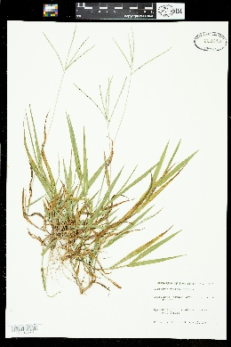 Digitaria violascens image