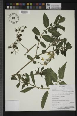Solanum habrochaites image