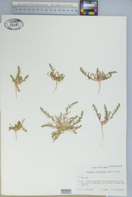 Monolepis nuttalliana image