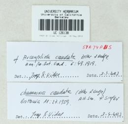 Image of Chamonixia caudata