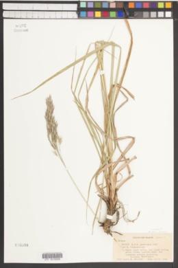 Bromus tomentellus image